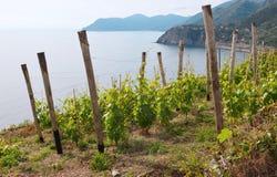 Giovani vigne sulla montagna Fotografie Stock