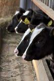 Giovani vitelli Fotografie Stock Libere da Diritti