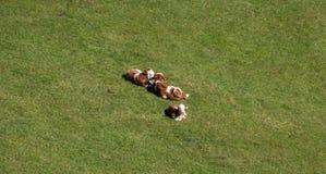 Giovani vitelli che si trovano nell'erba Immagini Stock