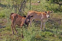 Giovani vitelli vicino a Belgodere, N197 (regione) di Nebbio, Corsica Immagine Stock
