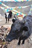Giovani yak fotografia stock