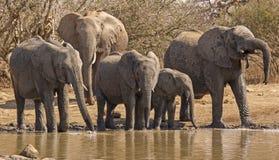 Giovanotti correnti dell'elefante africano Fotografia Stock