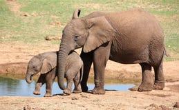 Giovanotti dell'elefante africano Immagini Stock