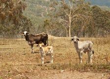 Giovenca e vitello della mucca dei bovini da carne Fotografia Stock