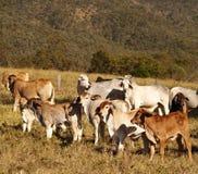 Giovenche australiane del Brahman dei bovini da carne Immagini Stock Libere da Diritti