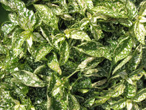 Gipoestes (Hypoestes) Stock Photography
