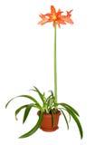 Gippeastrum de floraison Images stock