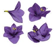Gippeastrum violet réglé Les fleurs sur un blanc ont isolé le fond avec le chemin de coupure closeup Aucune ombres Pour la concep Photos libres de droits