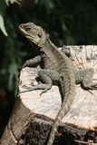 Gippsland Water Dragon (Physignathus Lesueurii Howittii) Stock Photos