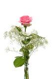 gipsowych ziele menchii różana waza obrazy royalty free