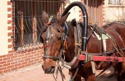 Gipsy's horse head close up view stock photos