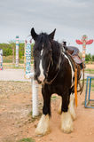 Gipsy vanner horse. A portrait of a gipsy vanner horse Stock Image