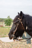 Gipsy vanner horse. A portrait of a gipsy vanner horse Stock Images