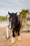 Gipsy vanner horse Royalty Free Stock Photography