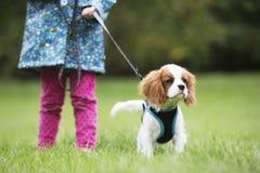 Gir che prende il cavo di re Charles Puppy For Walk On Immagine Stock