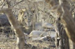 Gir Lion in Morning Sun at Sasan Gir Stock Photography