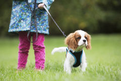 Gir Taking King Charles Puppy For Walk On Lead Stock Image
