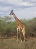 Giraf,坦桑尼亚的徒步旅行队公园 免版税库存照片