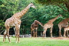 giraf ζωολογικός κήπος Στοκ Εικόνες