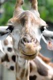 Giraf Royalty-vrije Stock Foto