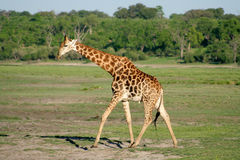 Giraf stock afbeeldingen
