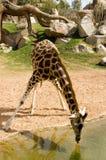 Giraf Royalty-vrije Stock Afbeeldingen