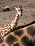 Giraf royalty-vrije stock afbeelding