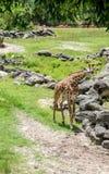 Giraf 2 Stock Foto