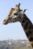 Giraf Royalty-vrije Stock Foto's