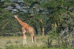 Giraf Stock Fotografie