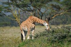 Giraf Stock Foto