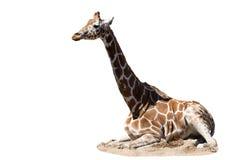 Giraf Stock Afbeelding