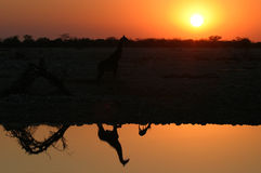 Giraf imagens de stock