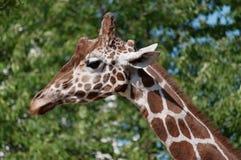 Giraf arkivfoto
