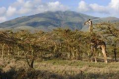 Giraf in acacia's. Royalty-vrije Stock Afbeeldingen