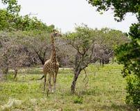 Giraf in Afrika stock afbeeldingen