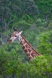 Giraf in Afrika Royalty-vrije Stock Foto