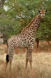 Giraf in Afrika Royalty-vrije Stock Afbeeldingen
