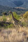 Giraf in Afrikaanse bushveld royalty-vrije stock afbeelding