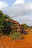 Giraf bij acacia Stock Fotografie