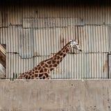 Giraf bij de dierentuin Stock Afbeeldingen