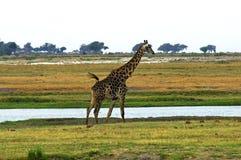 Giraf bij een rivier stock afbeeldingen