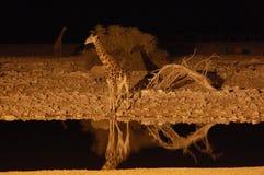 Giraf bij een waterhole in de nacht - Park Etosha, Stock Afbeeldingen