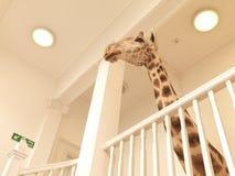 Giraf bij het Landen Stock Afbeelding