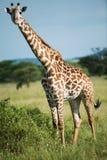 Giraf bij het nationale park van Serengeti, Tanzania, Afrika Stock Foto's