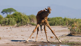 Giraf bij het water geven kenia tanzania 5 maart 2009 Royalty-vrije Stock Afbeeldingen