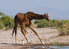 Giraf bij het water geven kenia tanzania 5 maart 2009 Stock Afbeelding