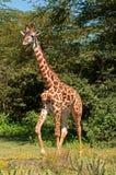 Giraf bij Meer Naivasha, Kenia stock afbeelding