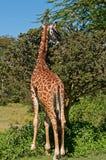Giraf bij Meer Naivasha, Kenia Royalty-vrije Stock Foto's
