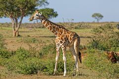 Giraf bij Murchison-Dalingen Oeganda royalty-vrije stock afbeelding
